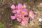 foto of siberia  - Pink and white crocuses bloomed in early autumn in Siberia at the dacha in Russia - JPG