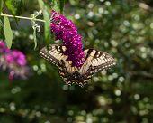 pic of butterfly-bush  - A Yellow Swallowtail butterfly feeding from a purple butterfly bush. ** Note: Shallow depth of field - JPG