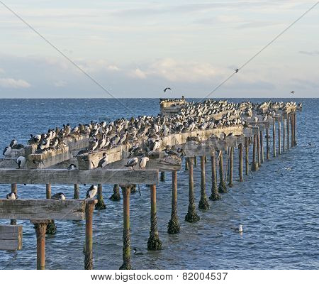Abondoned Pier Inhabited By Cormorants
