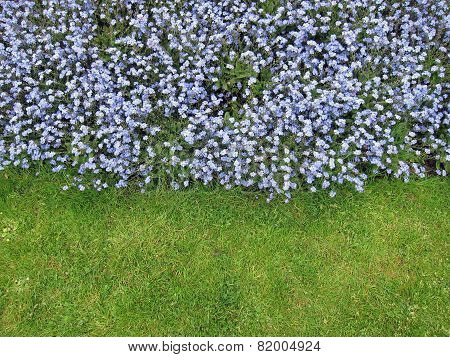 The green grass and blue forget-me-not flowers