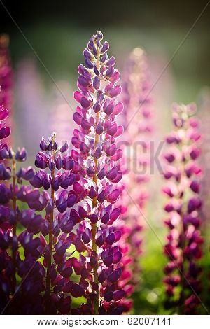 Violet Wild-growing Flowers Of A Lupine