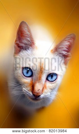Cat looking the camera