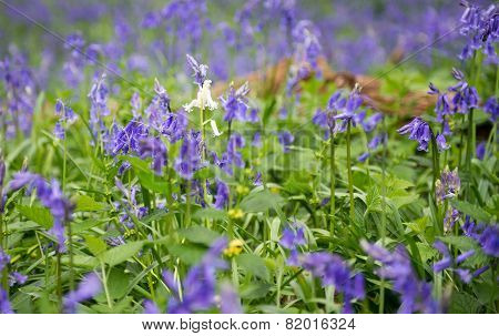 Lone Bluebell