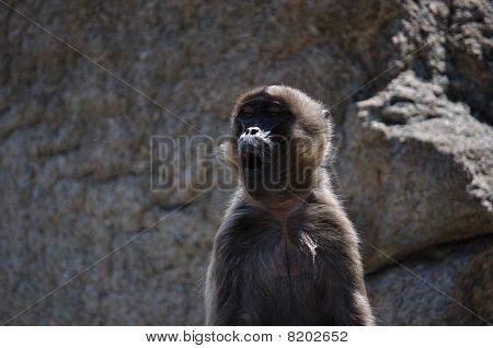 Roaring ape