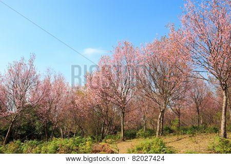 Tree Of Wild Himalayan Cherry ( Prunus Cerasoides ) ( Sakura In Thailand ) At Phu Lom Lo Mountain ,