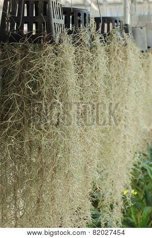 Home Decorated Garden With Spanish Moss Hanging Strand
