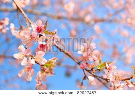 Wild Himalayan Cherry ( Prunus Cerasoides ) ( Sakura In Thailand ) At Phu Lom Lo Mountain ,Thailand