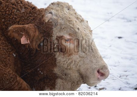 Bull On A Snowy Pasture