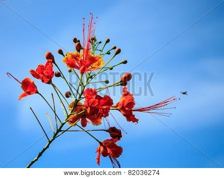 Dwarf Poinciana, Flower Fence