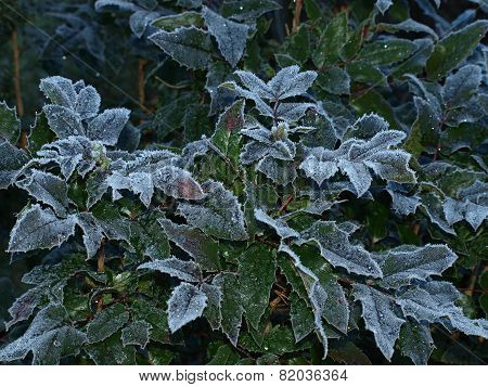Plants Covered With Frost, Southern Bohemia