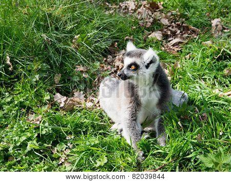 Lone Lemur
