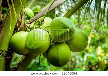 Coconut, tropical fruit for healthy eating