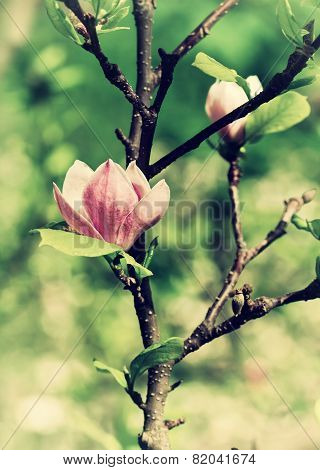 Abloom Flower Of Magnolia