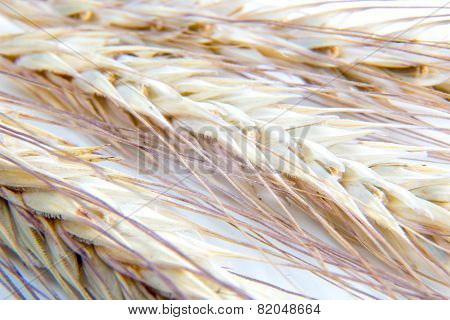 wheat ears macro