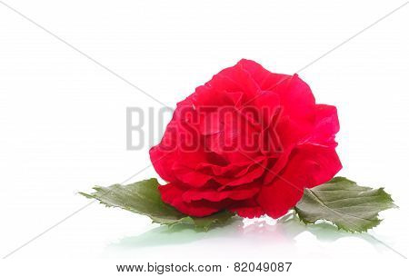 Flowers Blooming Rose