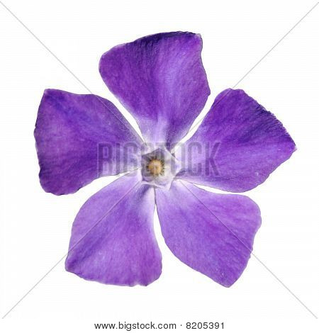Periwinkle Purple Flower - Vinca Minor - Isolated On White