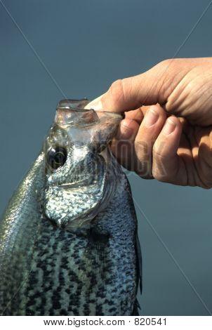 FishCrappiein hand1