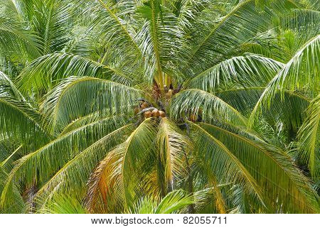 Ripe coconuts at the coconut palm at Koh Samui, Thailand.