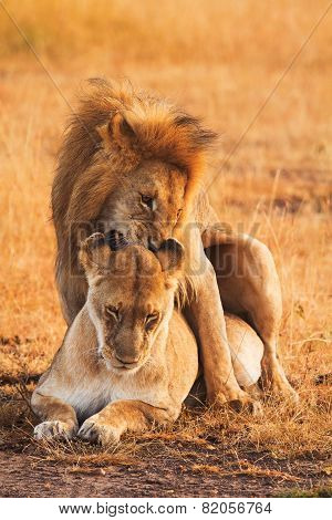 Mating Lions In Masai Mara