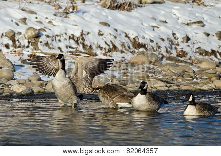 Canada Goose Stretching Its Wings While Standing In A Winter River