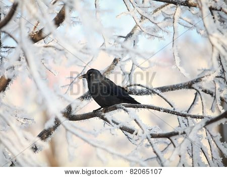 crow on snow-covered tree