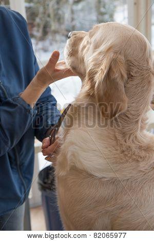 Golden Retriever Dog And Groomer.