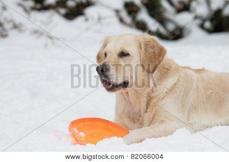 Golden Retriever With Orange Toy On The Snow