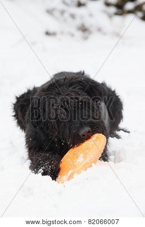 Big Black Schnauzer Dog Is Biting An Orange toy
