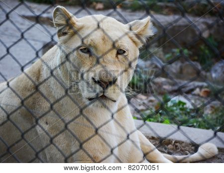 White Lioness In A Zoo