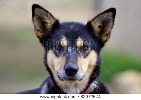 Head Of Alaskan Husky With Ears Pricked Up