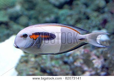 Orangespot Surgeonfish (acanthurus Olivaceus)