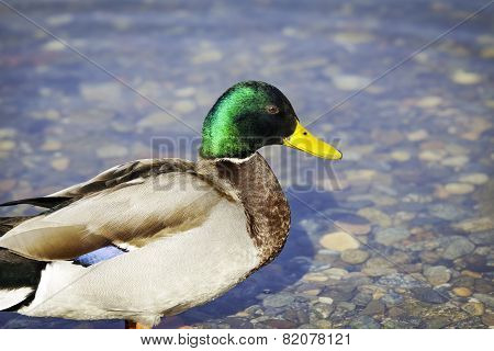 Colorful duck. Color image