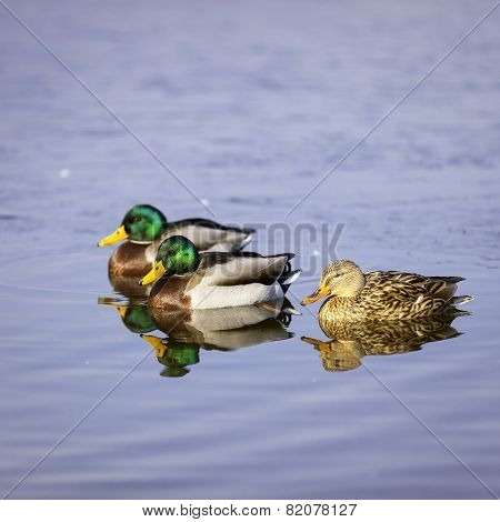 Group of three colorful ducks. Color image