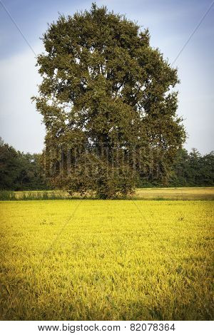 Solitary tree between mature paddy fields. Color image
