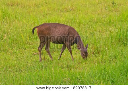 beautiful female samba deer standing in Thai forest