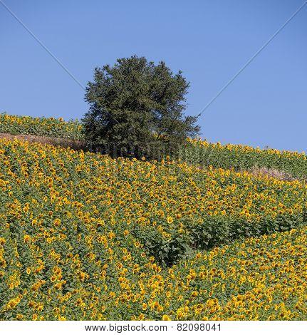Tree inj Sunflower field