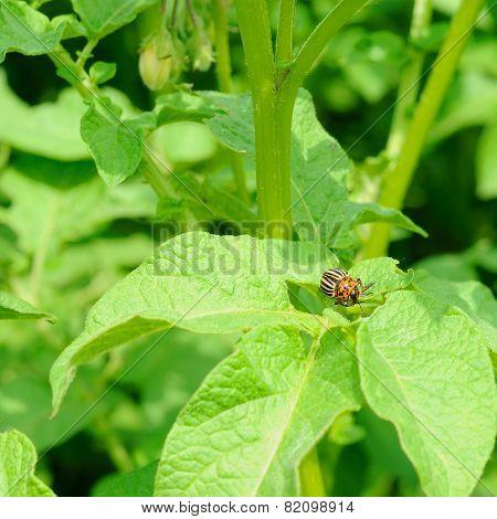 Mature Colorado Bug On The Potato