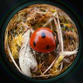 picture of crawl  - Ladybug crawling in grass in objective lens