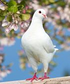 picture of pecker  - one white pigeon on flowering background  - JPG