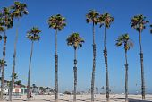 pic of long beach  - a row of palm trees in Long Beach - JPG