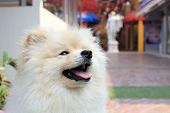 image of puppy dog face  - White pomeranian puppy dog cute pets - JPG