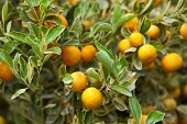pic of tangerine-tree  - Tangerine trees in a garden in Summer - JPG