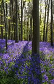 picture of harebell  - Beautiful fresh morning in Spring bluebell forest - JPG