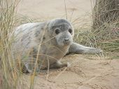 stock photo of dune grass  - Bay grey seal pup - JPG