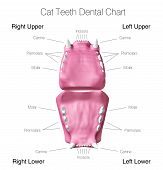 pic of animal teeth  - Illustration of cat teeth dental chart - JPG