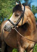 foto of buckskin  - Portrait of beautiful buckskin welsh pony - JPG