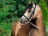 image of buckskin  - Portrait of beautiful buckskin welsh pony - JPG