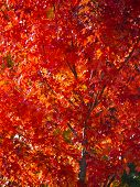 pic of canada maple leaf  - Beautiful Maple Tree taken in the Fall - JPG