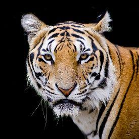 picture of jungle animal  - Tiger portrait of a bengal tiger animal wildlife black color background - JPG
