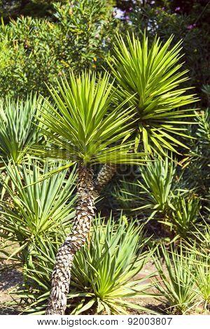 Palm Yucca